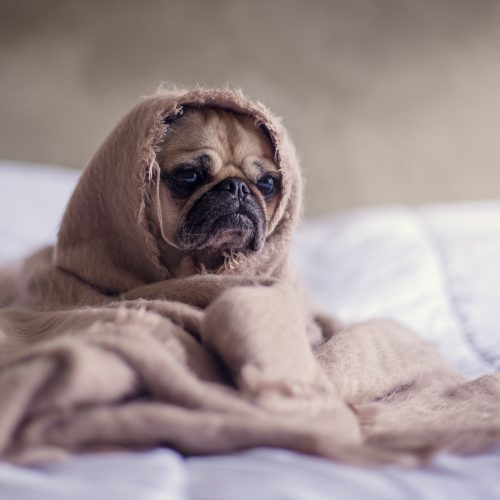 Can Dogs Get The Flu